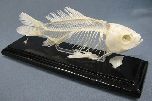 Super a scientific biology animal skeleton model for Fish without bones